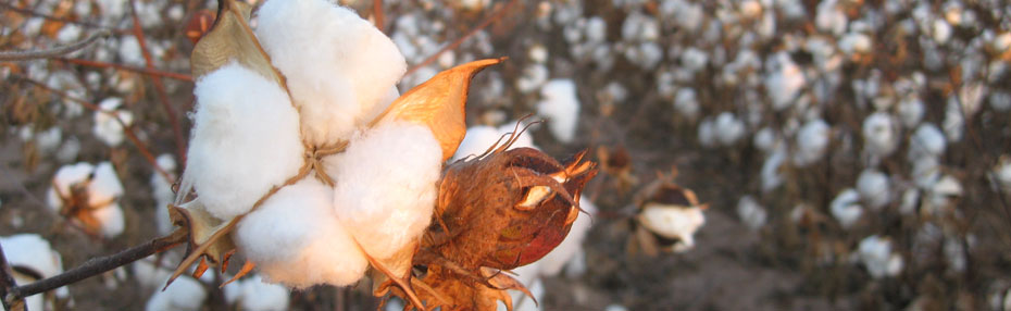 Organic Cotton vs  Potentially Dangerous Synthetic Cotton