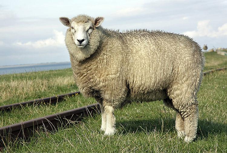 sheepweb